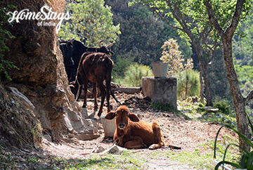 Our Livestock_Mukteshwar Homestay