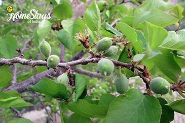 Orchard_Achinathang Homestay