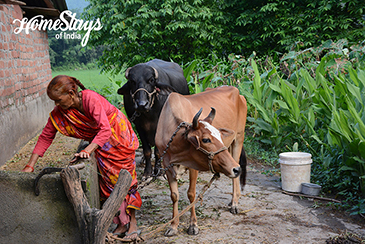 Our Livestock_Kyari Homestay