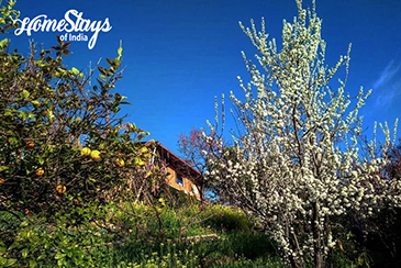Orchard_Chaukori Homestay