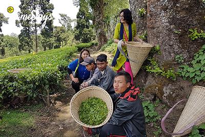 Tea Plucking_Hoi Trips-Meghalaya