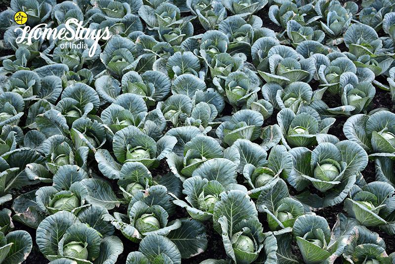 Cabbage_Mukteshwar-Homestay