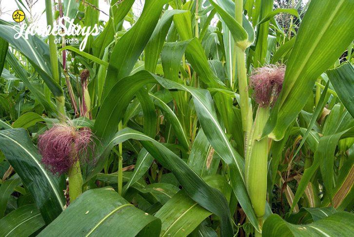 Corn_Sunkiya-Homestay-Mukteshwar