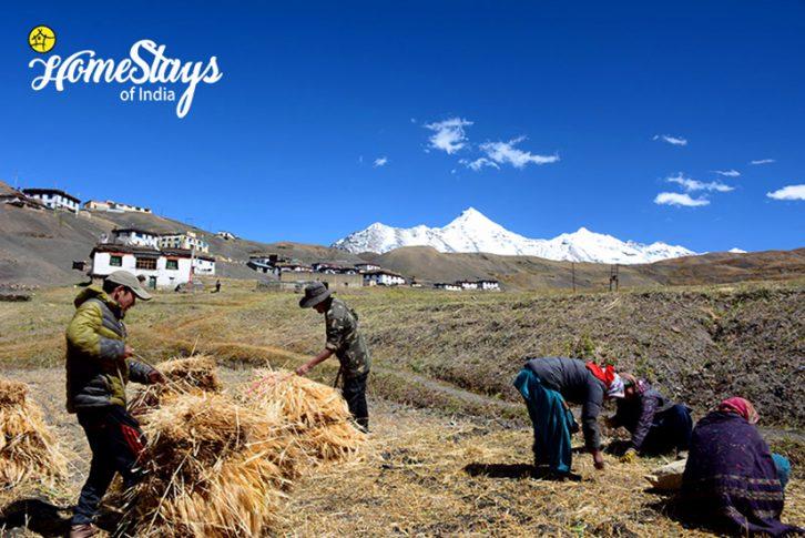 Farming_Langza Homestay-Spiti