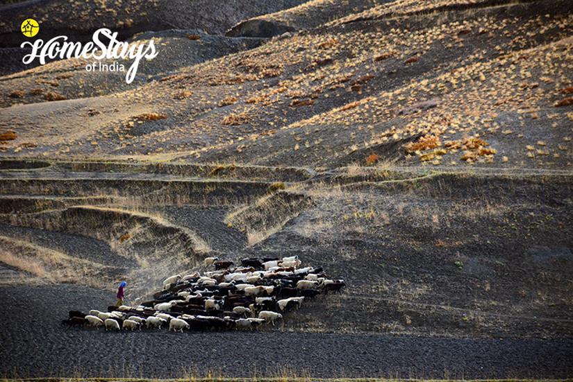 Herding_Langza Homestay-Spiti