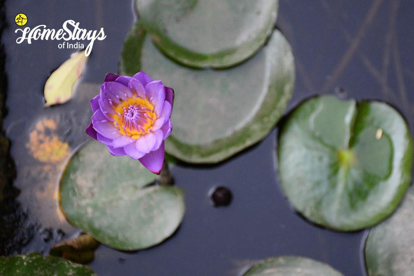Lotus Pond_Peelwa Heritage Homestay_Jaipur