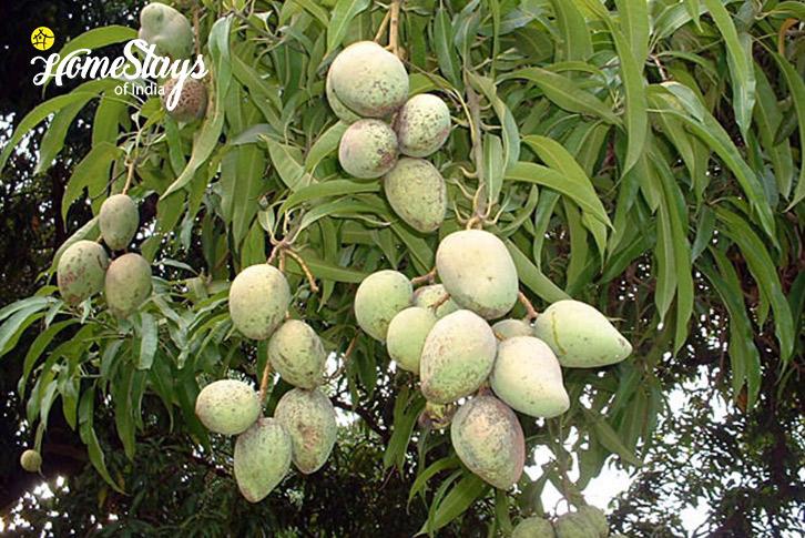 Mango-Wayanad-Farmstay-Kerala