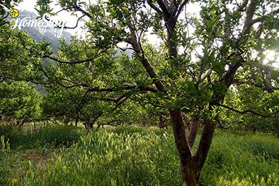 Orchard_Sangla-Homestay