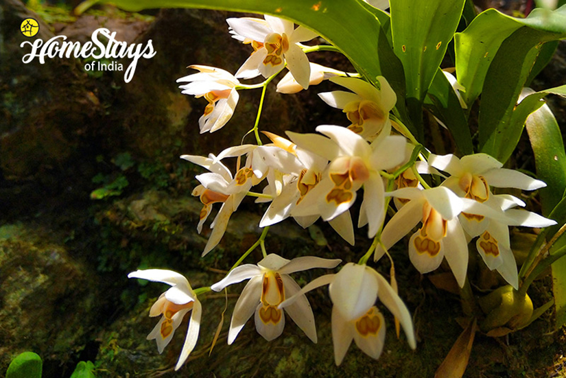 Orchid1_Pedong Homestay