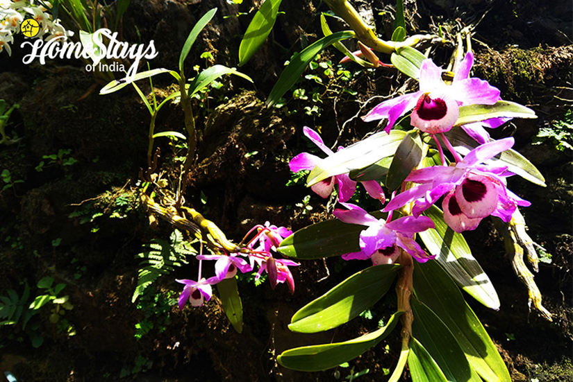 Orchid2_Pedong Homestay