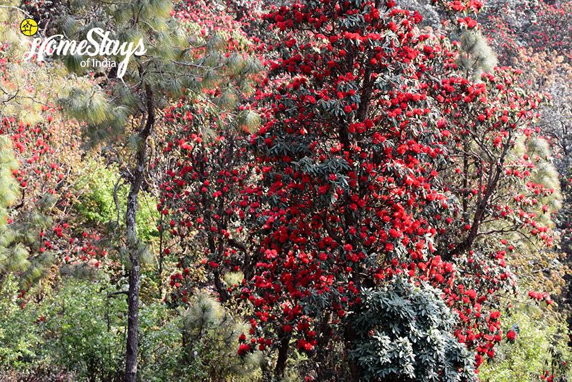 Rhododendron_Kanarkha-Homestay-Padampuri