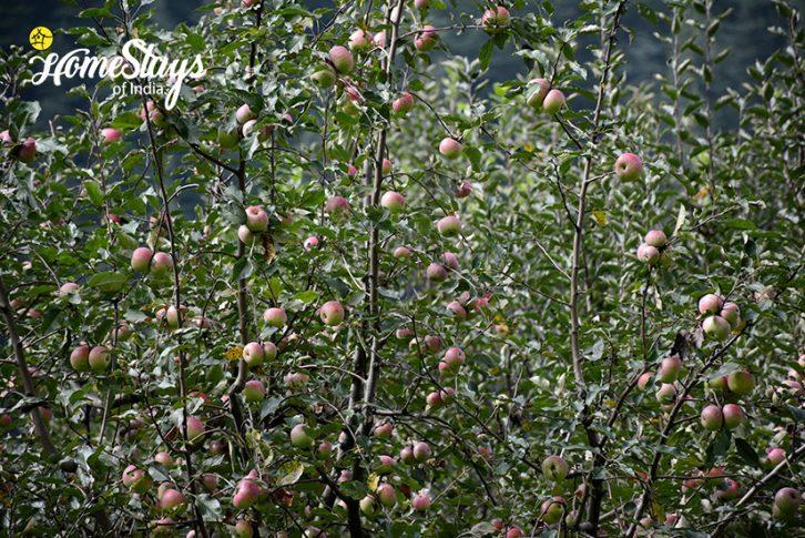 Apple-Orchard2_Chhalal-Homestay