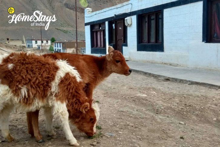 Livestock_Pangmo-Homestay-Spiti