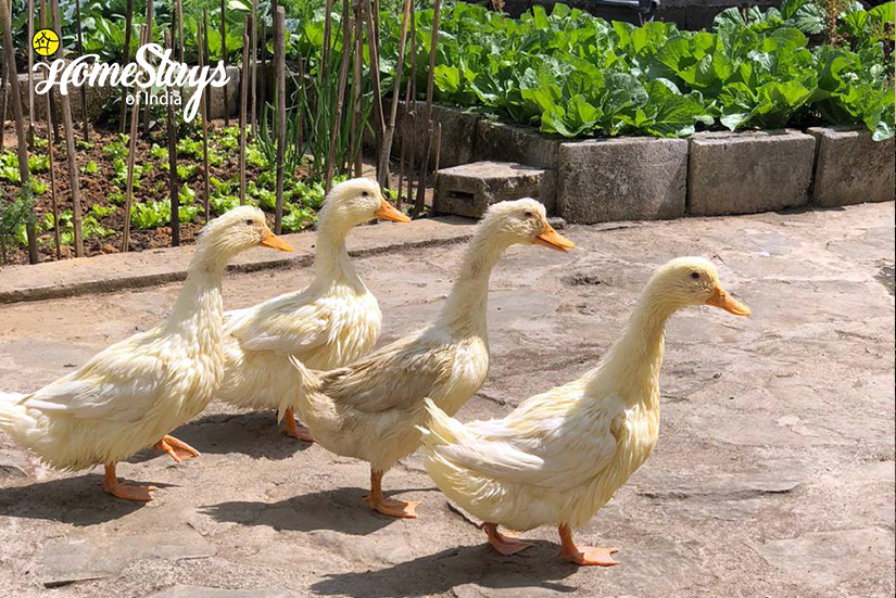 Pet-Ducks_Billy-Graham-Homestay-Kohima