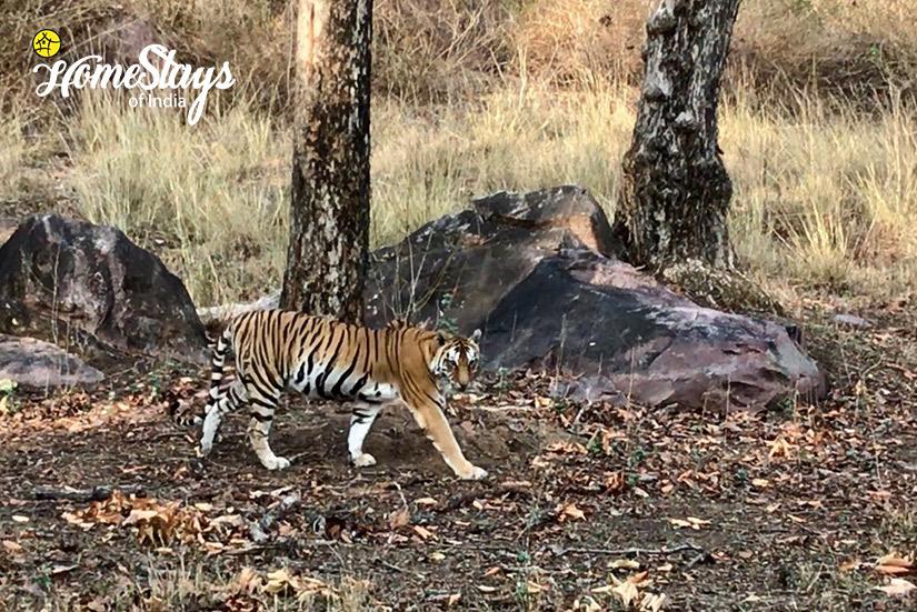 Tiger-Sighting_Parsatola Ecostay-Kanha