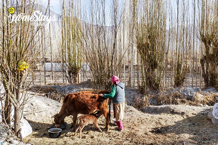 Livestock-Diskit Homestay-Nubra Valley-Ladakh