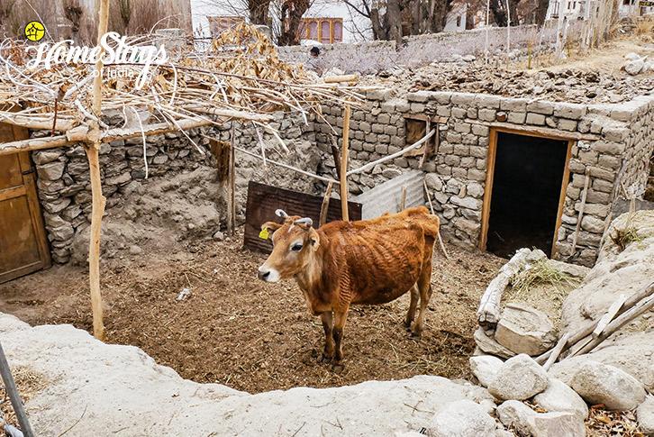 Livestock-Sumur-Homestay-Nubra Valley-Ladakh