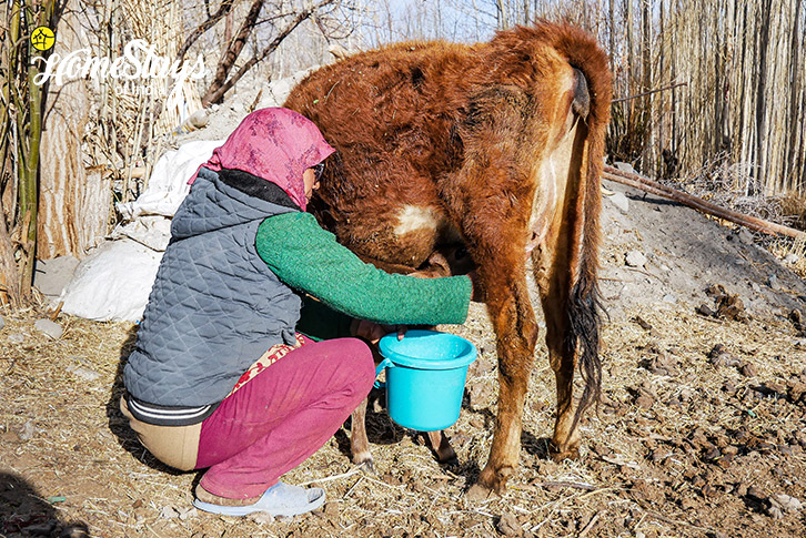 Milking-Diskit Homestay-Nubra Valley-Ladakh