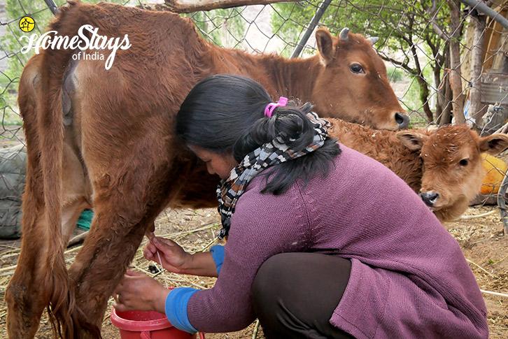 Cow-Milking-Likir-Homestay-Ladakh