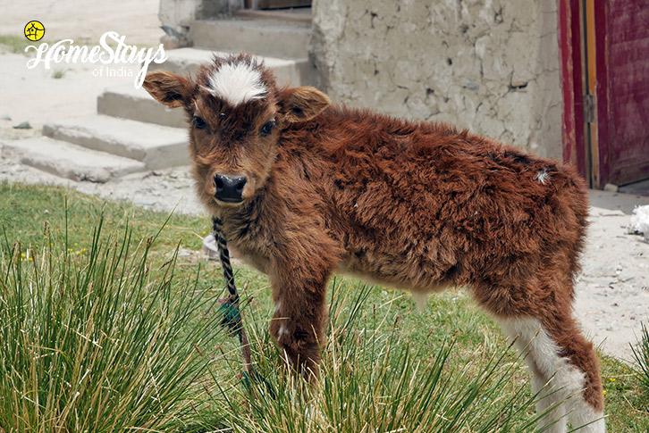 Calf-Merak Homestay-Pangong