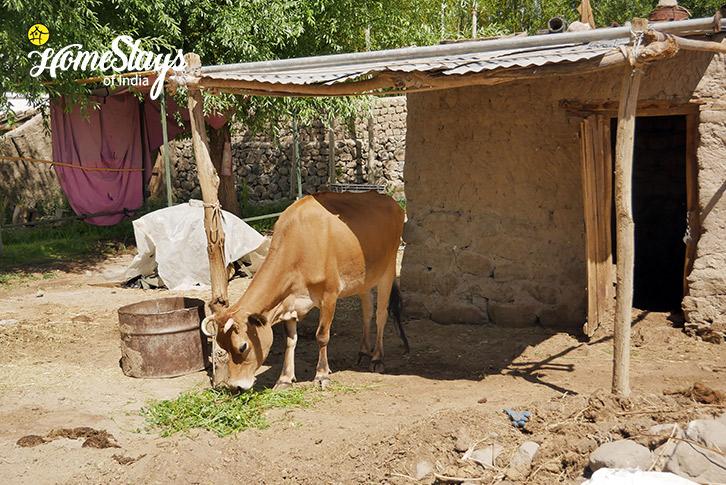Cow-Thiksey Homestay-Ladakh