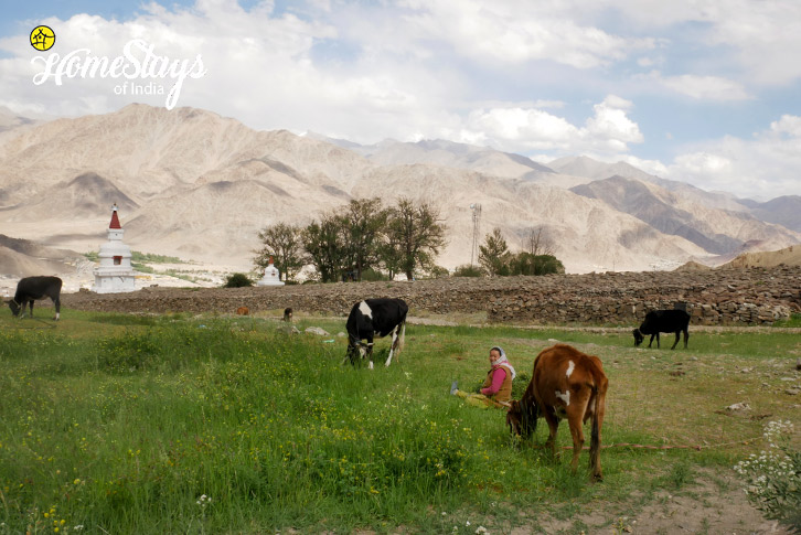 Farming-Hemis Homestay-Leh