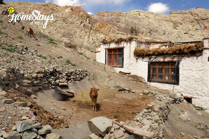Livestock-Hemis Homestay-Leh