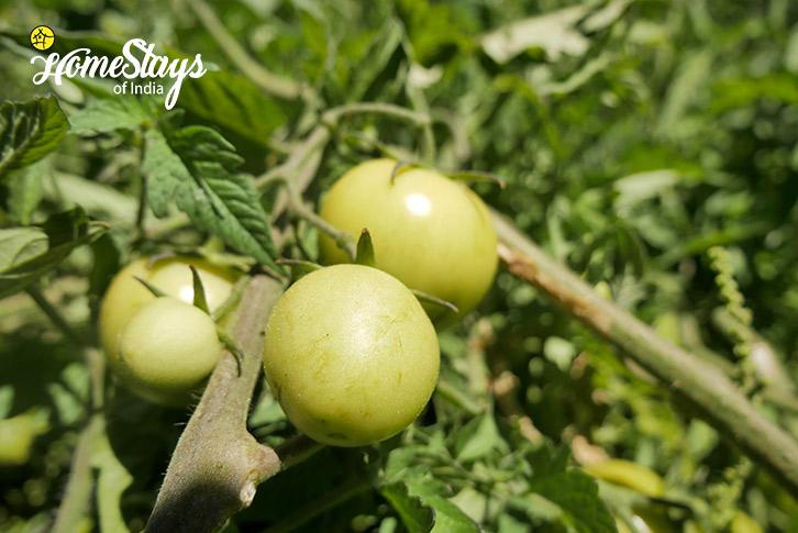 Vegetable Garden-Upper-Changspa-Homestay-Leh